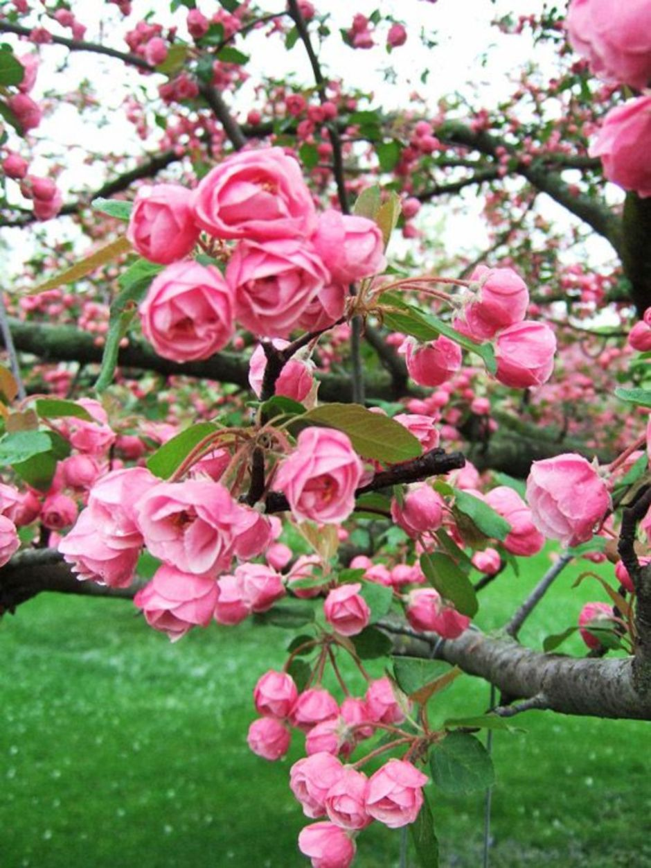 Beautiful Flowering Tree for Yard Landscaping 4